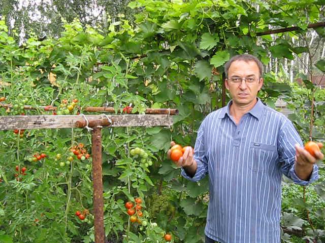 Как сделать помидоры в огороде 55